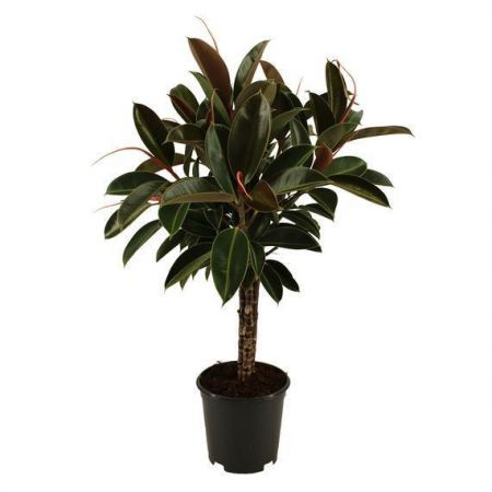 Rubber Plant Ficus elastica Melany with Stem House Plant 90cm tall