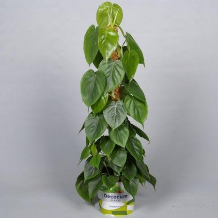 Philodendron scandens house plant in 19cm pot. 80cm tall approx