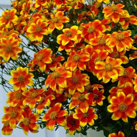 Bidens Painted Red Patio Hanging Basket Plant in a 12cm Pot