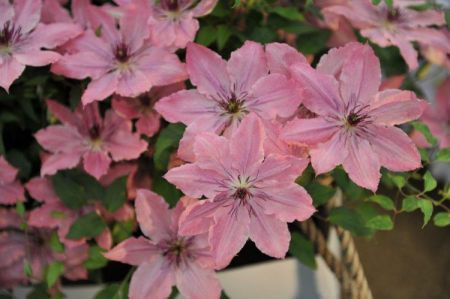 Clematis Sarah Elizabeth Climbing plant in a 15cm Pot Approx. 65cm tall