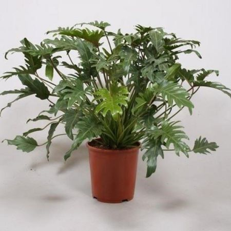 Philodendron Xanadu large house plant ina 21cm pot. 55-65cm tall.