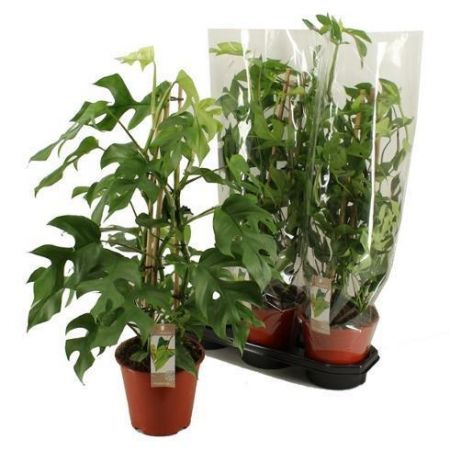 Small-leafed form of Swiss cheese plant Monstera minima house plant  in 19cm pot