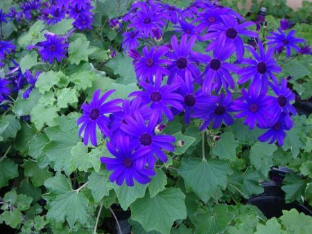 Cineraria Senetti BLUE plant in a 13cm pot