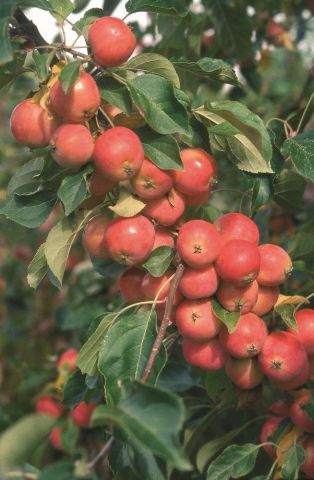 Malus Jelly King crab apple tree in a 12 Litre container