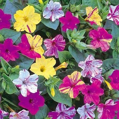 Mirabilis Jalapa bulbs x 5.  Evening Flower.  Fragrant multicoloured flowers