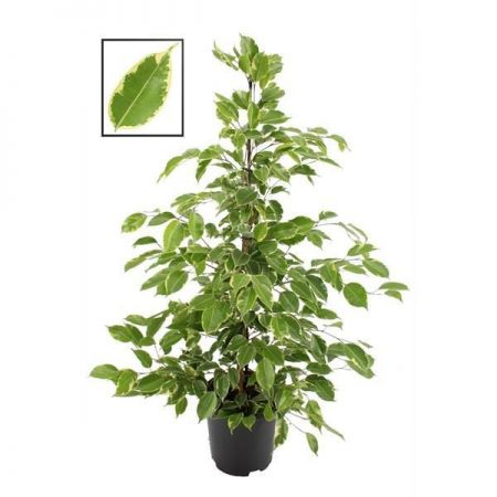 Ficus benjamina. Golden King house plant. 105cm tall. Large weeping fig tree