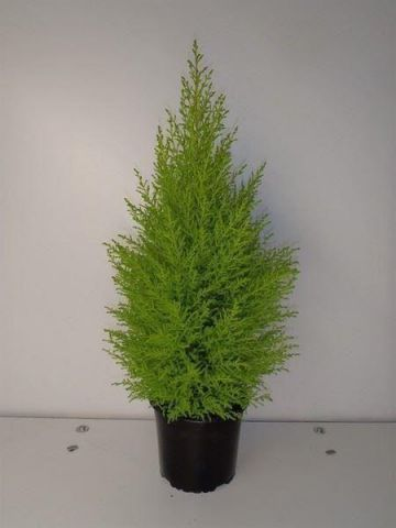 Cupressus Wilma Goldcrest Evergreen Conifer Tree. 50-60cm in height