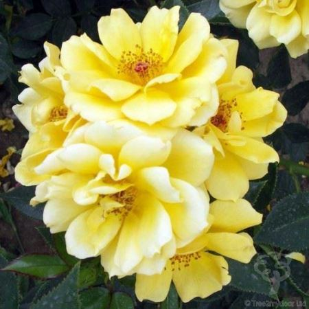 Special Occasion Rose New Arrival in a 3.5 litre Pot