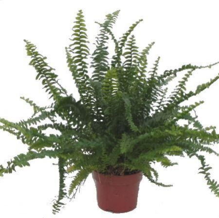 Nephrolepis exaltata Green Lady house plant fern in 12cm pot