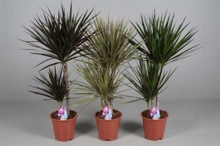 Twin stem dragon tree house plant with dark foliage. Dracaena marginata. 75cm tall