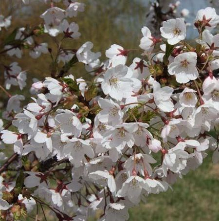 Prunus x yedoensis flowering cherry tree in 12 litre pot