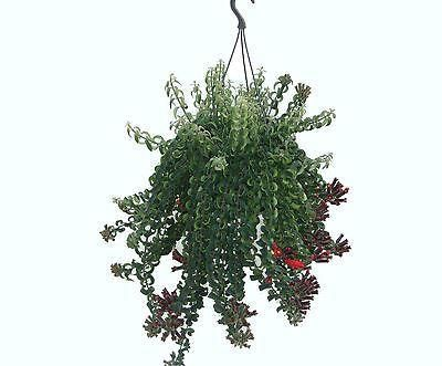 Aeschynanthus Twister House Plant.  Unusual houseplant with trailing stems