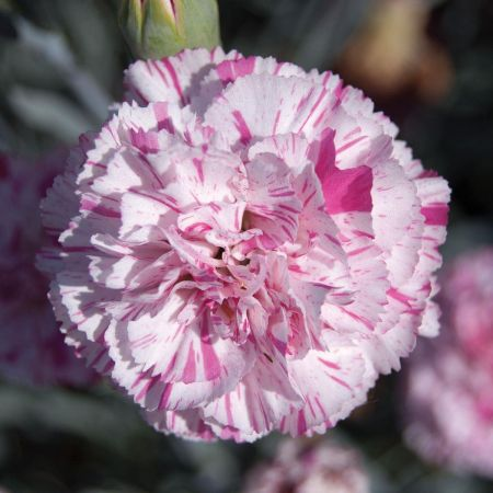 Dianthus Pinball Wizard Plant in a 13cm pot.  Cottage Pinks Carnation