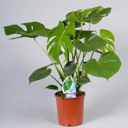 Swiss Cheese Plant, Monstera deliciosa, in 17+cm pot. 60cm tall approx.