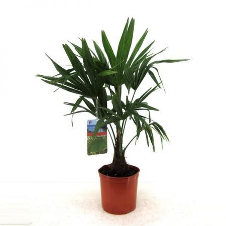 Trachycarpus fortunei Palm Tree. 65cm tall 21cm pot. Chusan Palm Windmill Palm