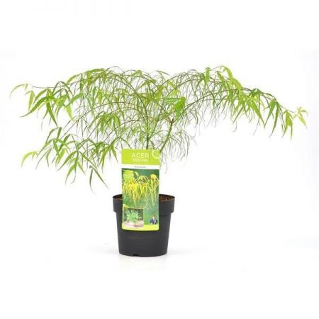 Acer Palmatum Koto-no-Ito Tree in a 19cm Pot. Japanese Maple.