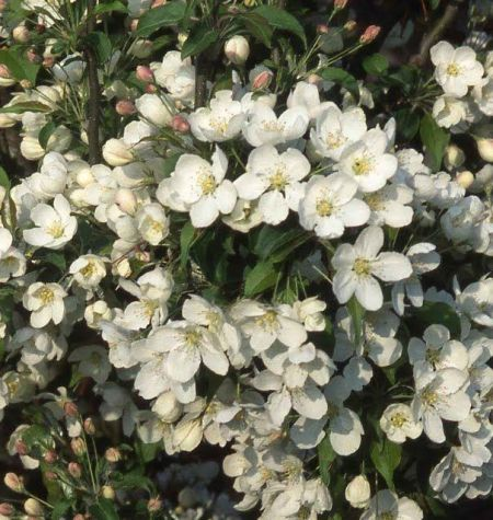 Malus brevipes Wedding Bouquet crab apple tree in a 12 Litre container