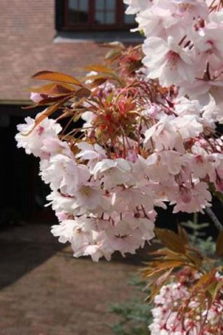 Prunus Horinjii japanese flowering cherry tree in a 12L container