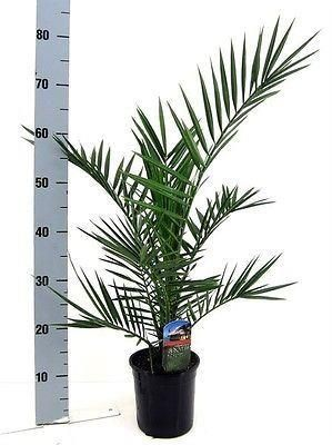 Phoenix canariensis Palm Tree 60cm tall approx. Canary Island Date Palm