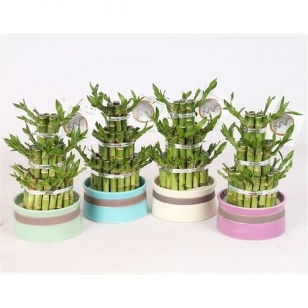 Lucky Bamboo Tower in 12cm Round Ceramic Pot in GREEN Colour.  Indoor Bonsai for Feng Shui.