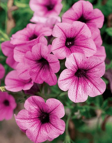 Trailing Petunia Surfinia Pink Vein Plant in 9cm pot x 3. Hanging Basket Plant