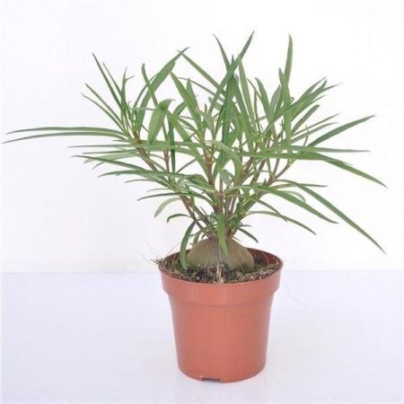 Hydnophytum Fortune House Plant in a 12cm Pot.  Rarely offered ant plant