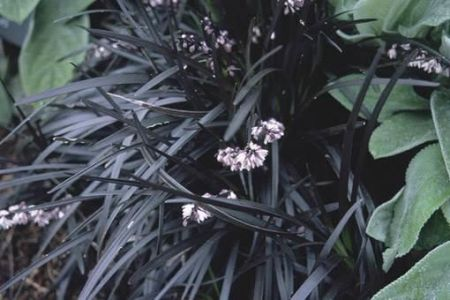 Ophiopogon pla. nigrescens in a 17cm pot. Black Lily turf grass