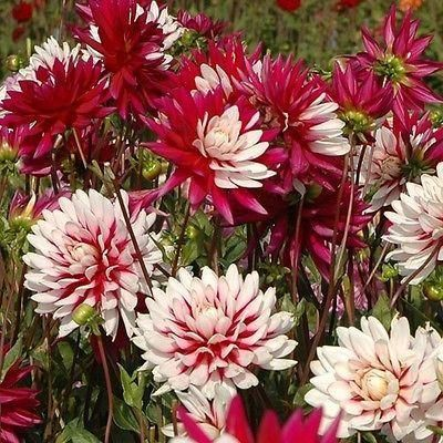 Dahlia Rebeccas World (decorative) x 1 tuber. New Variety. Multitude of colours. TS477