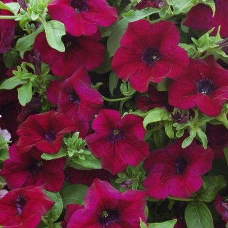 Petunia Burgundy Bedding Plant 6 Pack Garden Ready Plants
