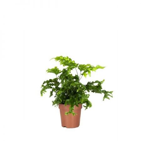 Phlebosia 'Nicolas Diamond'  indoor fern house plant in a 12cm pot NEW VARIETY