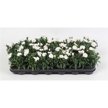 Dianthus Oscar® White Plant in a 9cm Pot x 3. Carnation Pinks