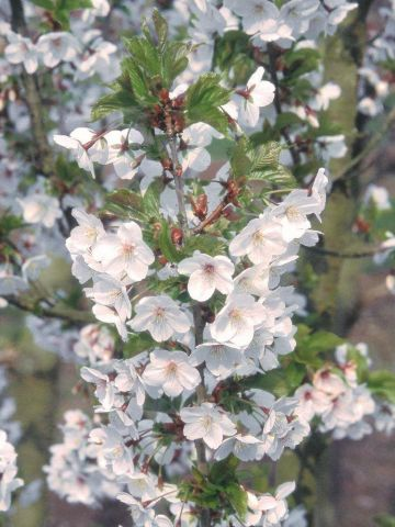 Prunus Snow Goose tree in a 12 Litre container