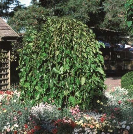 Morus alba Pendula weeping white mulberry tree in a 12 litre pot - top worked at 120cm