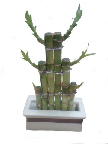 Lucky Bamboo Steps in a cream ceramic pot. Indoor house plant, bonsai for Feng Shui