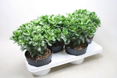 Money plant. Crassula Minova Magic house plant in a 17cm pot x 1 Jade plant for wealth!