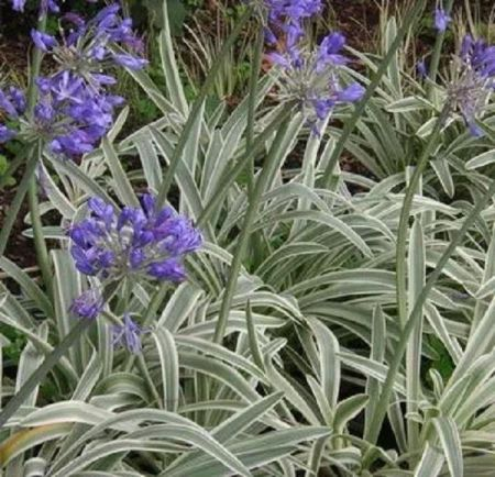 Agapanthus Tinkerbell Perennial Plant in a 17cm Pot