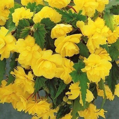 Begonia Yellow Giant Pendula Bulbs / corms x 3.  A favourite for hanging baskets