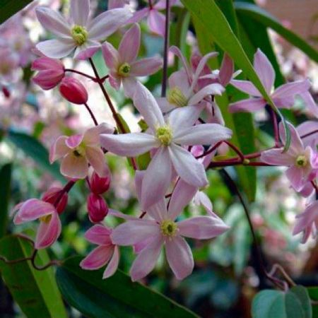 Clematis Armandii Appleblossom Evergreen Climbing Plant in a 15cm Pot