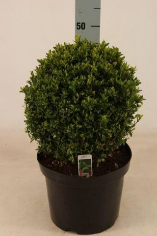 Box Ball Topiary Plant in a 26cm pot.  30cm diameter. Buxus sempervirens