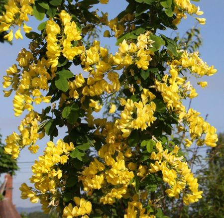 Laburnum Anagyroides Yellow Rocket Shrub in a 12 Litre Pot