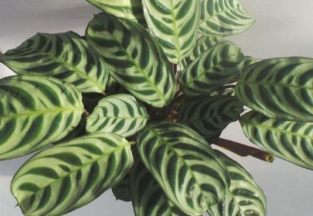 Never Never plant Ctenanthe burle-marxii houseplant in 14cm pot