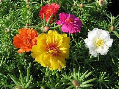 Portulaca Succulent Bedding Plant 6 pack. DISCOUNTS for multiple purchases