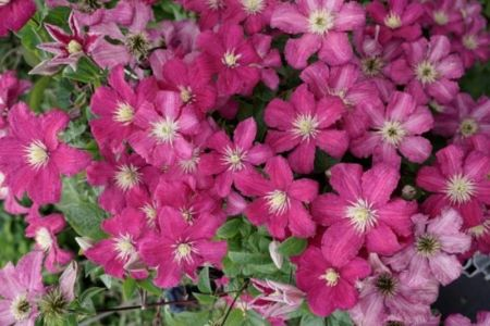 Clematis Remembrance climbing plant in a 17cm Pot