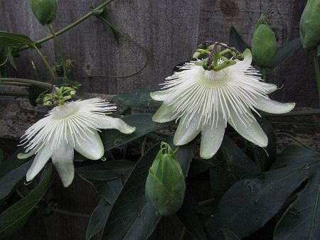 Passiflora Snow Queen Cimbing Plant in a 15cm Pot.  Passion Flower