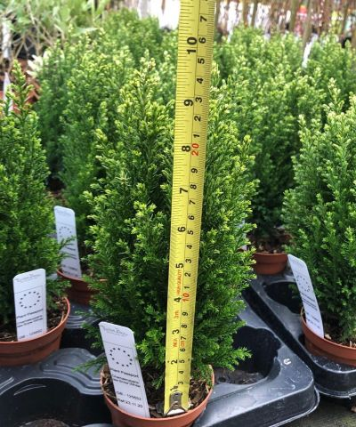 Young conifers Chamaecyparis lawsoniana Snow White. Each in a 9cm pot x 2