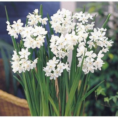Narcissus Paperwhite Plants in a 13cm Pot.  Scented multi headed flowers