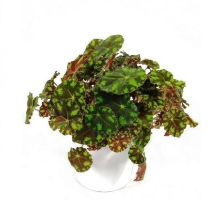 Begonia rex Tiger House Plant in a 12cm Pot