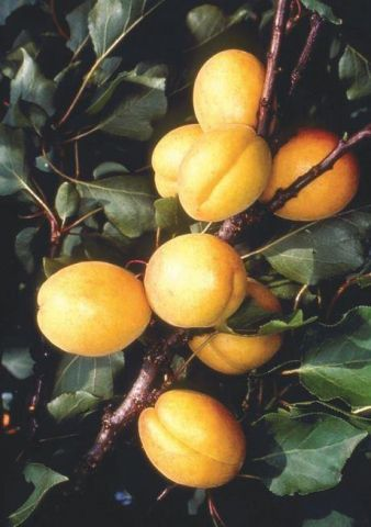 Apricot (Prunus) Kioto tree in a 12 Litre Pot - Bush form - Rootstock- St. Julian A