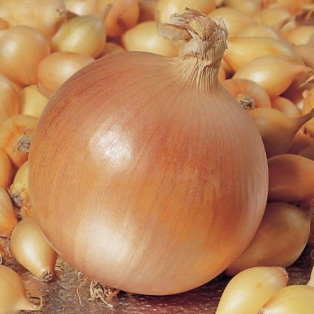 Hercules Onion Sets x 50.  Grow your own