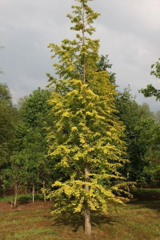 Metasequoia glyptostroboides Gold Rush dawn redwood tree in a 12 Litre container